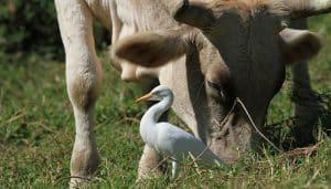 Garcita Ganadera entre el ganado