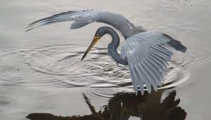 La garceta tricolor cazando en un lago