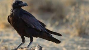 Corvus corax posando sobre una roca