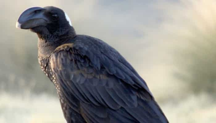 Corvus crassirostris, vista de su gran pico