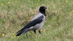 Corvus cornix parado en el pasto