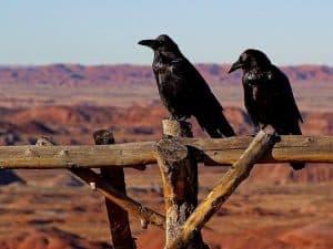 Cuervos posando en una cerca