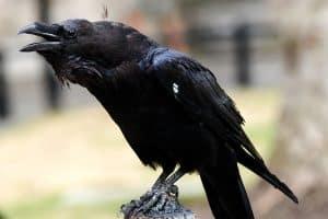 Corvus corax emitiendo sonidos
