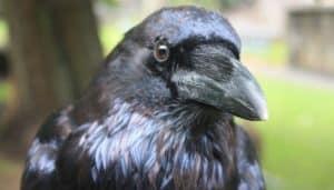 Cuervo visto de cerca