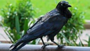 Corvus coronoides posando