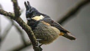 El carbonero culirrufo (Periparus rubidiventris) en una rama