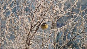 Herrerillo en un árbol de invierno