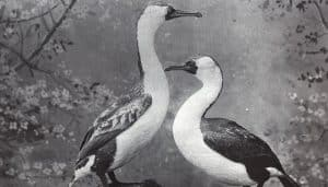 Dos Cormoranes Crestados Negros
