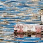 Cormorán en el lago Ganzirri, un lago urbano en Messina.