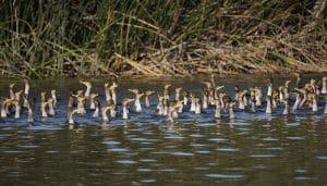 Enorme grupo de Cormoranes en el agua