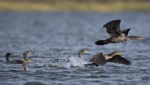 Cormoranes levantando vuelo