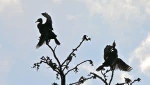 Dos cormoranes en el parque de castillo en Brühl