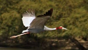 Grulla (Sarus Crane) en pleno vuelo