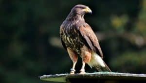 Halcón Peregrino (Genero Falcon) posando.