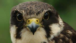 Alcotán europeo (Falco subbuteo) de perfil.