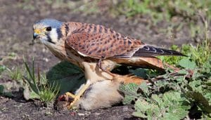 Cernícalo americano (Falco sparverius) cazando.