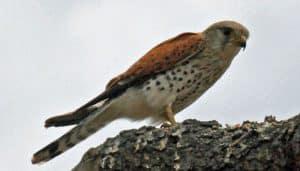 Cernícalo de Aldabra (Falco newtoni) sobre un tronco.
