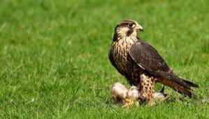Alcon (Genero Falcon) cazando.