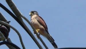 Cernícalo de patas rojas (Falco vespertinus) apareandoce..