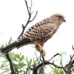 Cernícalo de ojos blancos (Falco rupicoloides) sobre lo copos de unas ramas.