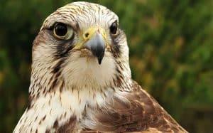 Halcón sacre (Falco cherrug) terminando de alimentase.