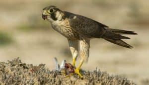 Halcón tagarote (Falco pelegrinoides) comiendo.
