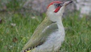 Hembra del pito real ibérico, o pito ibérico (Picus sharpei) de la familia Picidae de pájaros Carpinteros