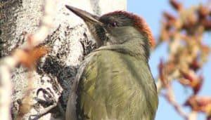 Macho del pito real ibérico, o pito ibérico (Picus sharpei) de la familia Picidae de pájaros Carpinteros