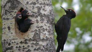 Pájaro Carpintero Negro