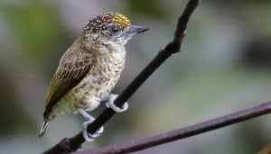 El carpinterito del Amazonas (Picumnus aurifrons), también llamado carpinterito frentidorado (en Colombia)