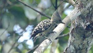 El pito cano (Picus canus), una especie de la familia Picidae