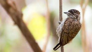 Picumnus squamulatus es una especie de la familia Picidae