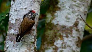 Picumnus pygmaeus, una especie de la familia Picidae en un árbol