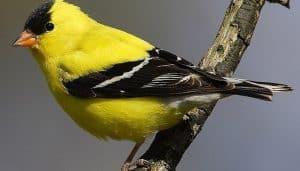 El jilguero canario o jilguero amarillo o jilguero norteamericano o canario salvaje o cadernera americana o Pardillo americano (Carduelis tristis)