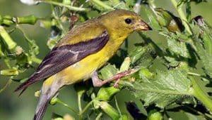 Hembra de jilguero canario o jilguero amarillo