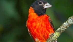El cardenalito, cardenalito de Venezuela, jilguero rojo o pireno rojo (Carduelis cucullata), (Spinus cucullata)