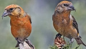 Red Crossbills (Machos)