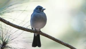 Pinzón azul de Tenerife (Fringilla teydea) posando