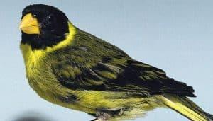 Carduelis dominicensis, una especie de ave de la familia Fringillidae.