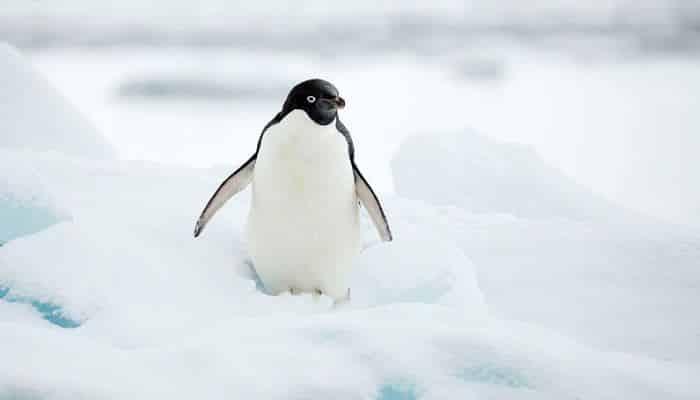 Pingüinos | Características, Hábitat, Reproducción Y Curiosidades!