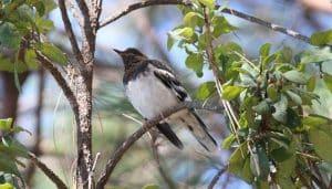 Ridgwayia pinicola sobre una rama
