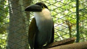 Tucán celeste (Andigena nigrirostris) enjahulada.