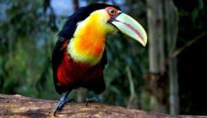 Tucán colorado (Ramphastos dicolorus)