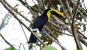 Tucán del Chocó (Ramphastos brevis)
