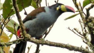Tucán morado de cabeza negra(Andigena hypoglauca) en las ramas de un albor.