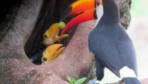 Tucán toco (Ramphastos toco) con sus crias.