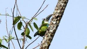 Tucancito de pecho celeste (Aulacorhynchus coeruleicinctis) en el tallo de un albor.
