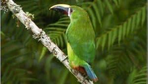 Tucancito esmeralda(Aulacorhynchus prasinus)