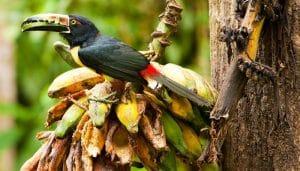 Arasarí acollarado (Pteroglossus torquatus)alimentandose.