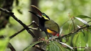 Tucancito negro(Selenidera spectabilis) cantando.